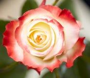 Blume stieg Stockfoto