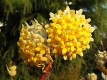 Blume, Tanchun Lizenzfreies Stockfoto