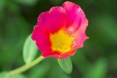 Blume in Thailand Lizenzfreies Stockbild