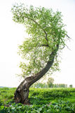 Blume. Tree in sommer. landscape natur green royalty free stock images