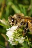 Blume u. Biene Stockbilder