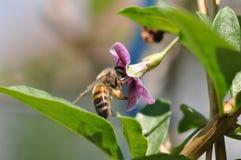 Blume und Biene Goji stockfotografie