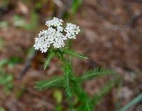 Blume und Blätter der weißen Anlage der Schafgarbe Stockfotos