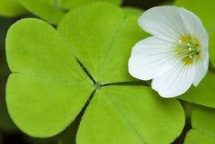 Blume und Blatt des Sauerampfers, Kuckuckblume Stockfotos
