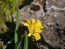 Blume und Felsen Stockfoto