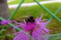 Blume und Hummel Stockfoto