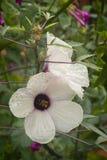 Blume und Kelchblätter des Hibiscustees (Hibiscus sabdariffa) trockneten für i Stockfoto