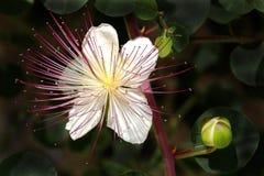 Blume und Knospe Stockfoto