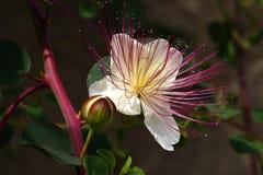 Blume und Knospe Lizenzfreies Stockbild