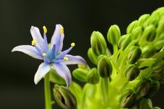 Blume und Knospen Stockfoto