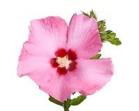 Blume und Knospen von Rose von Sharon auf Weiß Lizenzfreie Stockfotografie