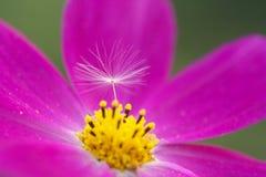 Blume und Löwenzahn Lizenzfreies Stockfoto