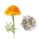 Blume und Samen der französischen Ringelblume lokalisiert auf Weiß Lizenzfreie Stockfotografie
