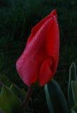 Blume und Tau Stockfotos
