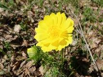 Blume von Adonis in einem Sanatorium Lizenzfreie Stockfotografie