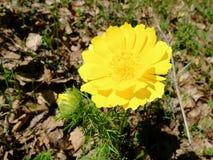 Blume von Adonis in einem Sanatorium Lizenzfreies Stockfoto