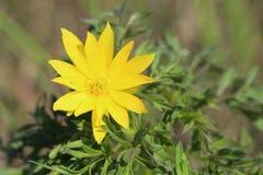 Blume von Adonis-wolgensis Stockbild