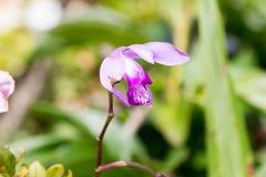 Blume von Bletilla striata Reichb Fil Lizenzfreie Stockfotografie