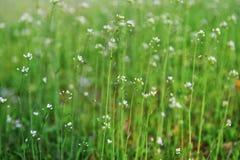 Blume von blindweed Lizenzfreie Stockbilder