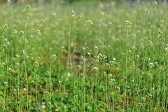 Blume von blindweed Lizenzfreie Stockfotos