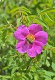Blume von Brier 5 Lizenzfreie Stockbilder