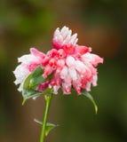 Blume von Cavendishia-bracteata Stockbilder