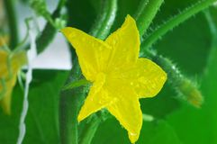Blume von cucmber lizenzfreies stockfoto
