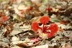 Blume von Delonix regia Stockfotos