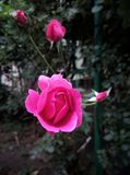 Blume von einem schönen hellen stieg mit einer nicht völlig durchgebrannten Knospe Stockbild