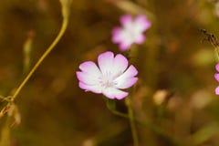 Blume von einer Rose des Himmels Stockfoto