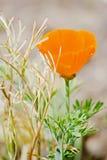 Blume von eschscholzia auf dem Gebiet Lizenzfreies Stockbild
