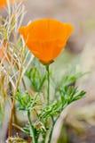 Blume von eschscholzia auf dem Gebiet Stockfoto