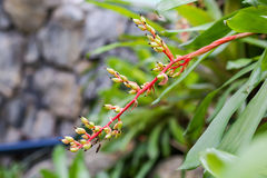 Blume von Hechtia-glomerata zucc (Bromeliaceae), Aechmea-weilbach Lizenzfreie Stockfotos