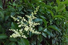 Blume von immergrünen Zierpflanzen für Hecke lizenzfreie stockfotografie