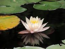 Blume von Lotos Stockbilder