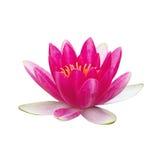 Blume von Lotos, Seerose Lizenzfreie Stockfotos