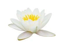 Blume von Lotos, Seerose Stockbilder