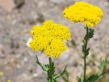 Blume von Makro Fernleaf-Schafgarbe oder Achillea-filipendulina, selektiver Fokus, flacher DOF Lizenzfreie Stockfotografie