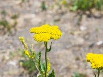 Blume von Makro Fernleaf-Schafgarbe oder Achillea-filipendulina, selektiver Fokus, flacher DOF Lizenzfreies Stockbild