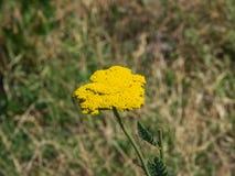 Blume von Makro Fernleaf-Schafgarbe oder Achillea-filipendulina, selektiver Fokus, flacher DOF Lizenzfreie Stockbilder
