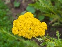 Blume von Makro Fernleaf-Schafgarbe oder Achillea-filipendulina, selektiver Fokus, flacher DOF Stockfotografie