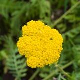 Blume von Makro Fernleaf-Schafgarbe oder Achillea-filipendulina, selektiver Fokus, flacher DOF Stockfoto