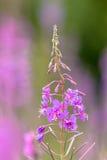 Blume von Oleander Willowherb lizenzfreies stockbild