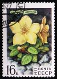 Blume von Rhododendron aureum Georgi, circa 1977 Stockfoto
