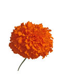 Blume von Tagetes Stockbilder