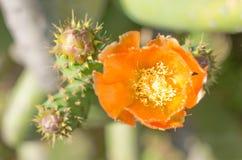 Blume von tunera Lizenzfreie Stockfotografie