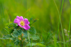 Blume von wildem stieg stockfotos