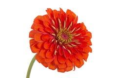Blume von Zinnia (Lat. Zinnia) Lizenzfreies Stockfoto