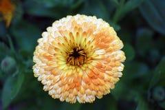 Blume weiß und gelb Lizenzfreie Stockfotografie
