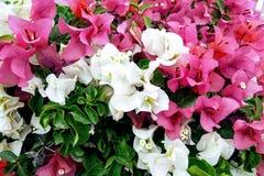 Blume weiß und rosa Lizenzfreies Stockbild